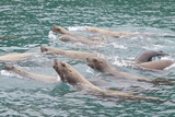Steller Sea Lions Swimming by Elifin Cove, Inian Islands, Alaska, USA Photographic Print by  Jaynes Gallery