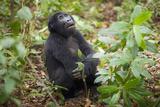 Mountain Gorillas, Volcanoes National Park, Rwanda Fotodruck von Art Wolfe