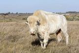 Female Albino Buffalo, White Cloud, Jamestown, North Dakota, USA Fotografisk tryk af Chuck Haney