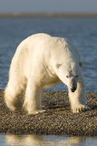 Polar Bear Boar Walks Down the Beach, Barter Island, Alaska, USA Photographic Print by Steve Kazlowski