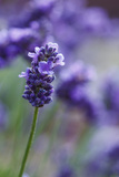 Lavender in the Backyard, Keizer, Oregon, USA Photographic Print by Rick A Brown