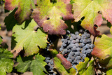 Purple Wine Grapes on the Vine, Napa Valley, California, USA Fotografie-Druck von Cindy Miller Hopkins
