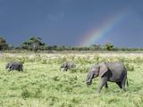 African Bush Elephant Family During Severe Storm, Maasai Mara , Kenya Fotografisk tryk af Martin Zwick