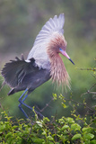 Reddish Egret in Breeding Plumage, Green Island Sanctuary, Texas, USA Photographie par Larry Ditto