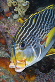 Cleaner Fish with Sweetlip Fish, Raja Ampat, Papua, Indonesia Photographic Print by  Jaynes Gallery