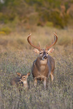 White-Tailed Deer Buck and Fawn in Field, Texas, USA Photographic Print by Larry Ditto