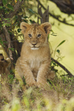 Lion Cub in the Bush, Maasai Mara Wildlife Reserve, Kenya Photographic Print by Jagdeep Rajput