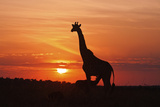 Giraffe Suckling Young One, Maasai Mara Wildlife Reserve, Kenya Fotografie-Druck von Jagdeep Rajput
