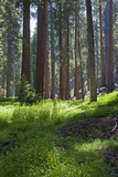 Sequoia National Park, California, USA Photographic Print by Peter Bennett