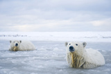 Polar Bear Cubs in Slushy Waters, Bernard Spit, ANWR, Alaska, USA Photographic Print by Steve Kazlowski