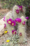 Cactus and Succulent Garden, Apache Hedgehog, Tucson, Arizona, USA Photographic Print by Jamie & Judy Wild