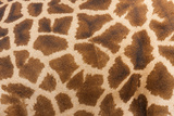 Reticulated Giraffe, Luangwa Valley, Zambia Photographic Print by Art Wolfe