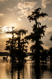 Bald Cypress in Water, Lake Martin, Atchafalaya Basin, Louisiana, USA Photographic Print by Alison Jones