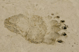 Polar Bear Footprint, Barter Island, Alaska, USA Photographic Print by Steve Kazlowski