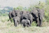 African Bush Elephant Herd, Maasai Mara, Kenya Photographic Print by Martin Zwick