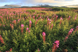 Lupine Field, Alaska Peninsula, Alaska, USA Photographic Print by Tom Norring