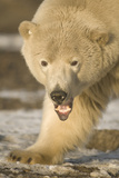 Polar Bear Young Adult Boar Yawning, Bernard Spit, ANWR, Alaska, USA Photographic Print by Steve Kazlowski