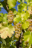 White Wine Grapes on Vine, Napa Valley, California, USA Photographic Print by Cindy Miller Hopkins