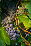 Pinot Gris Grapes, Keizer, Oregon, USA Lámina fotográfica por Rick A Brown