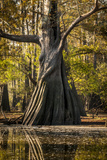 Bald Cypress in Water, Pierce Lake, Atchafalaya Basin, Louisiana, USA Photographic Print by Alison Jones