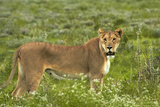 Lioness, Etosha National Park, Namibia Photographic Print by David Wall