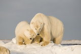 Polar Bear Sow with a 2-Year-Old Cub, Bernard Spit, ANWR, Alaska, USA Photographic Print by Steve Kazlowski