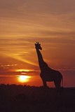 Giraffe at Sunrise, Maasai Mara Wildlife Reserve, Kenya Photographic Print by Jagdeep Rajput