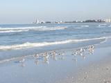 Laughing Gulls Along Crescent Beach, Sarasota, Florida, USA Fotografisk tryk af Bernard Friel