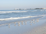 Laughing Gulls Along Crescent Beach, Sarasota, Florida, USA Photographic Print by Bernard Friel