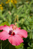 Detail of Pink Hibiscus, Dearborn, Michigan, USA Photographic Print by Cindy Miller Hopkins