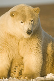 Young Male Polar Bear, Bernard Spit, ANWR, Alaska, USA Photographic Print by Steve Kazlowski