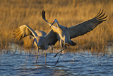 Sandhill Cranes Landing, Bosque Del Apache NWR, New Mexico, USA Photographic Print by Larry Ditto