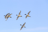Northern Pintail Ducks in Courtship Flight, Montana, USA Stampa fotografica di Chuck Haney