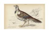 Centrocercus Urophasianus Giclee Print by Julius Stewart