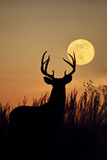 White-Tailed Deer (Odocoileus Virginianus) at Harvest Moon, Texas, USA Reproduction photographique par Larry Ditto