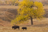 Bison Mother and Calf, Custer State Park, South Dakota, USA Photographic Print by  Jaynes Gallery