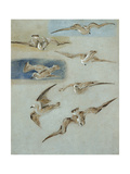 Study of Seagulls Giclee Print by Clarkson R.A. Stanfield