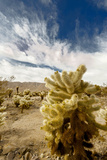 Cholla Blooms, Joshua Tree National Park, California, USA Photographic Print by Richard Duval