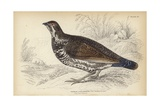 The Canadian Grouse Giclee Print by Julius Stewart