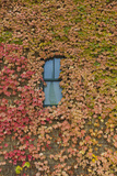 Autumn Ivy, Fargo, North Dakota, USA Photographic Print by Walter Bibikow