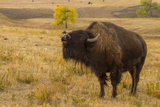 Close-Up of Bellowing Bison, Custer State Park, South Dakota, USA Photographic Print by  Jaynes Gallery