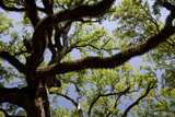 300-Year-Old Oak Tree, Vacherie, New Orleans, Louisiana, USA Photographic Print by Cindy Miller Hopkins