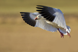 Snow Goose Landing, Bosque Del Apache NWR, New Mexico, USA Photographic Print by Larry Ditto