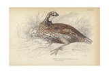The Virginian Quail Giclee Print by Julius Stewart
