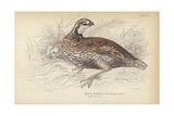 The Virginian Quail Giclee Print by Julius Stewart