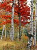 Forest of Birch and Maples in Autumn Colors, Wyman Lake, Maine, USA Fotografie-Druck von  Jaynes Gallery