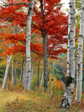 Forest of Birch and Maples in Autumn Colors, Wyman Lake, Maine, USA Photographic Print by  Jaynes Gallery