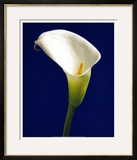 Calla on Blue II Prints by Alex Sedgwick