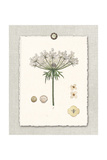 Paris Flea Market Queen Anne's Lace Prints by Devon Ross