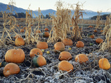 Fall Vegetables in Frosty Field, Great Basin, Cache Valley, Utah, USA Photographic Print by Scott T. Smith